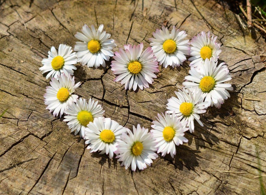 ハート型に置かれたデイジーの花