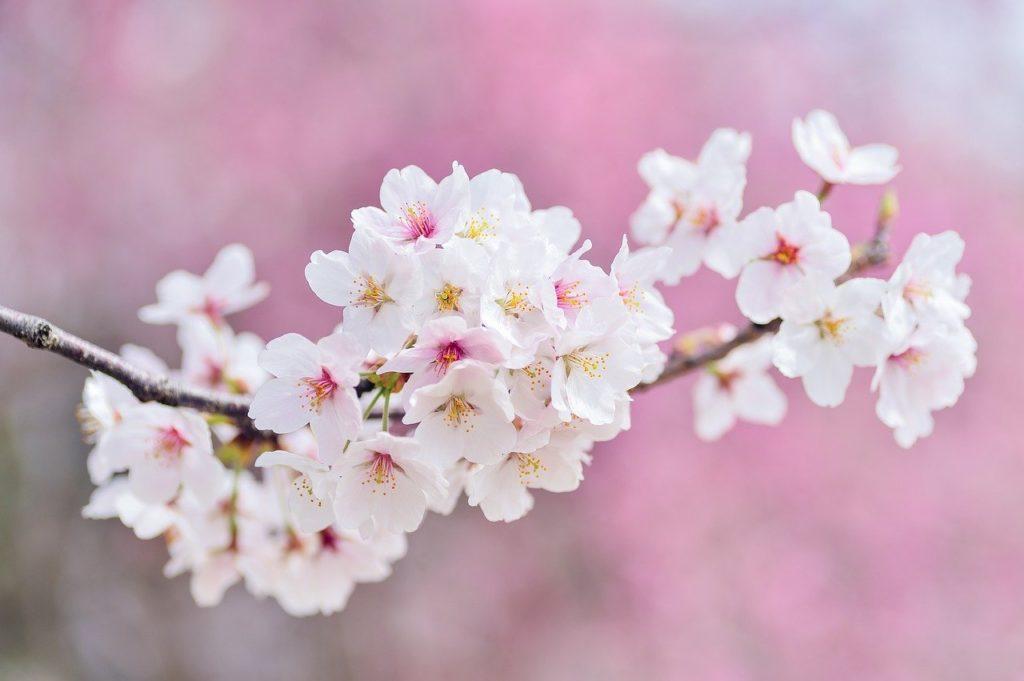 綺麗に咲いた桜の花びら