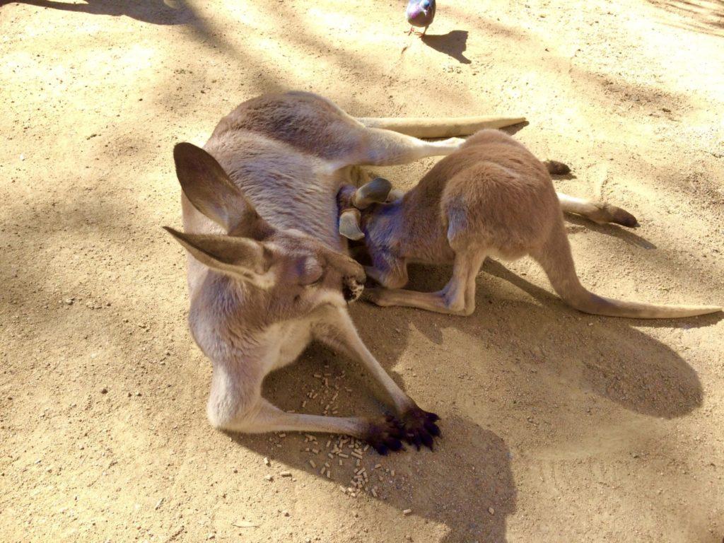 オーストラリアの動物園に居たワラビーの親子の写真