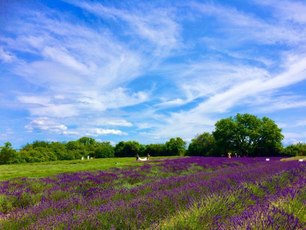 青空と咲き乱れる美しい紫色のラベンダー畑の風景