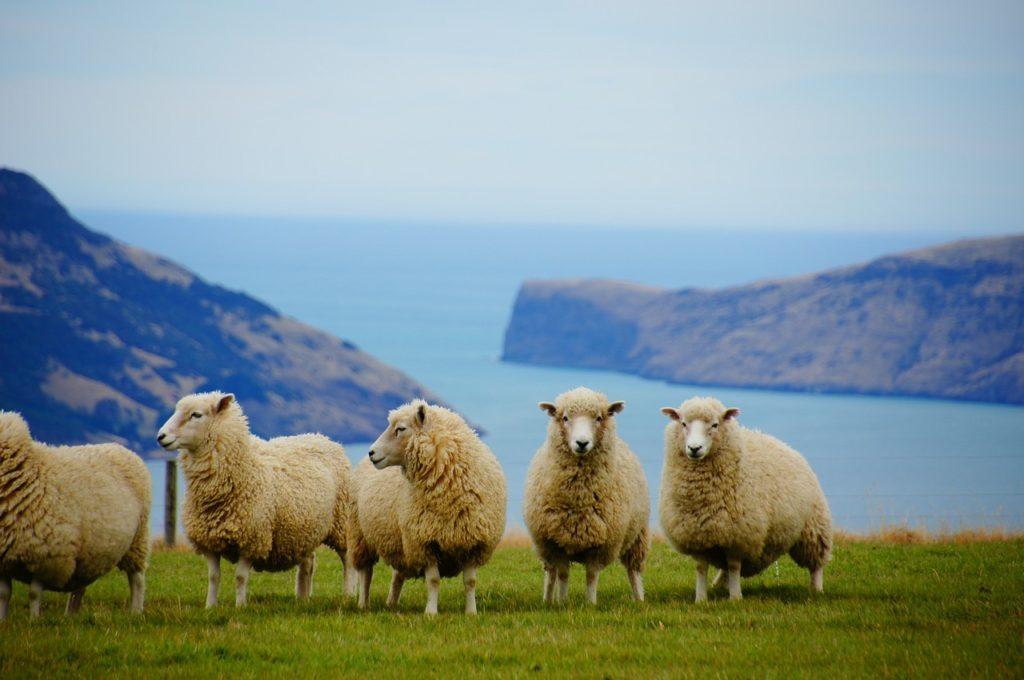 ニュージーランドの羊の写真